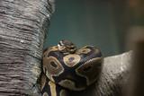 close - up of a python snake. - 211595859
