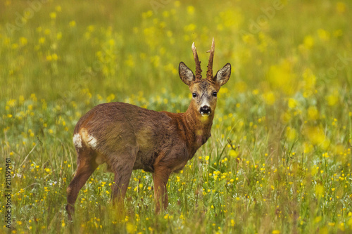 Fototapeta deer in rapeseed