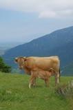 Vache et veau sous la mère