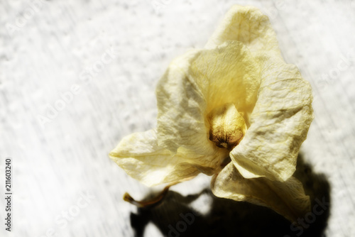 dry yellow orchid on white background