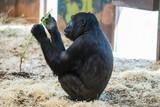 Gorilla eating green leaves - 211605276