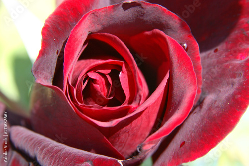 różowy kwiat wskazany dla zakochanych