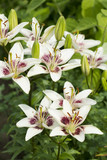 White with burgundy lilies blooming in the garden
