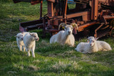 Sheep family in Hofn, Iceland