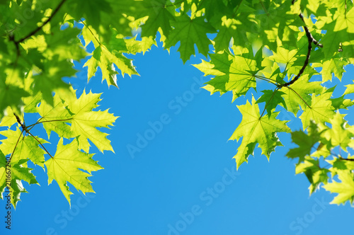 Bright leaves of  maple tree against blue sky - 211667240