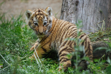 Siberian (Amur) tiger cub playing on the grass