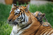 Siberian (Amur) tiger cub playing with mother