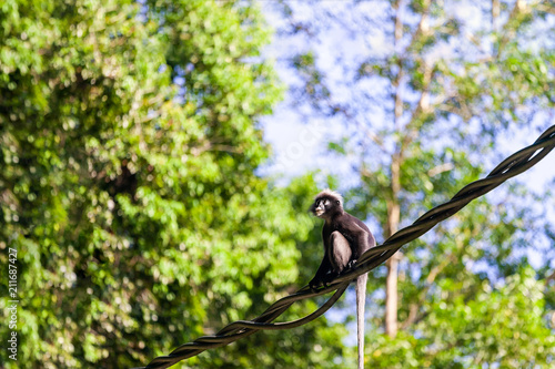 Aluminium Aap Background with Monkey or Dusky Langur sitting on wire in the rainforest, Langkawi, Malaysia
