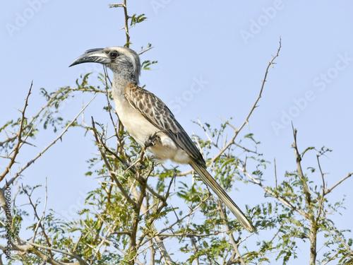 Fototapeta Grey Hornbill, Kruger National Park