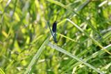 männliche Gebänderte Prachtlibelle (Calopteryx splendens) - 211696298