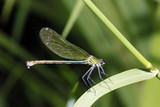 weibliche Gebänderte Prachtlibelle, Calopteryx splendens - 211696420