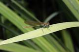 weibliche Gebänderte Prachtlibelle, Calopteryx splendens - 211696435
