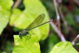 weibliche Gebänderte Prachtlibelle, Calopteryx splendens - 211696488