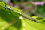 weibliche Gebänderte Prachtlibelle, Calopteryx splendens - 211696615