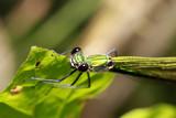 weibliche Gebänderte Prachtlibelle, Calopteryx splendens - 211696636