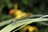 weibliche Gebänderte Prachtlibelle, Calopteryx splendens - 211696669
