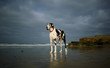 Great Dane dog outdoor portrait standing on beach