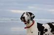 Great Dane dog outdoor portrait at beach