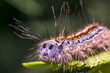 colorful caterpillar on green nettle leaf in the beautiful nature