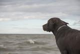Labrador looks at the sea - 211723815