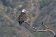 Bald eagle on tree limb perch