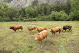 limousin cows and bull in countryside meadow of haute provence in france near barcelonnette in french alps