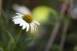 Leinwanddruck Bild - Weißer Sonnenhut (Echinacea) im Garten