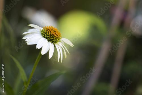 Leinwanddruck Bild Weißer Sonnenhut (Echinacea) im Garten