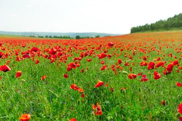 red poppy flowers in a field background