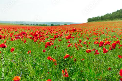 Fototapeta red poppy flowers in a field background