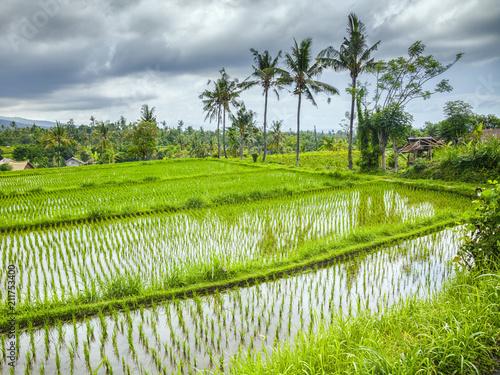 Fotobehang Bali some rice fields at Bali