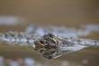 Common Frog, Rana temporaria