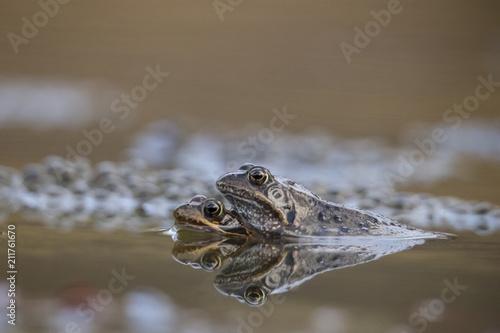 Fotobehang Kikker Common Frog, Rana temporaria