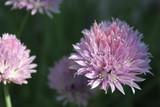 Fleur de ciboulette - 211768620