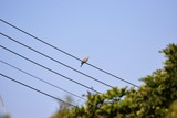 wild pigeon on the wires