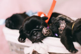 Newborn puppy pug - 211772435