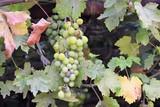 large wild grapes