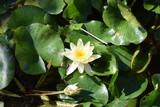 beautiful yellow water lily flower