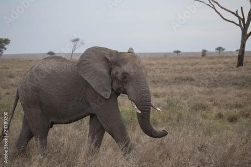 Fototapeta Elephant safari tanzanie