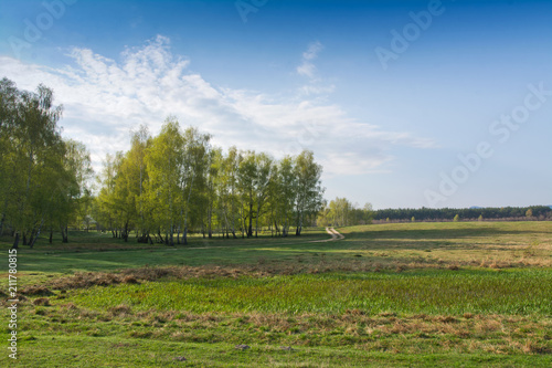 Spring birch forest and blue sky - 211780815