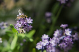 Hover Fly on  Lavender Blossom - 211783065