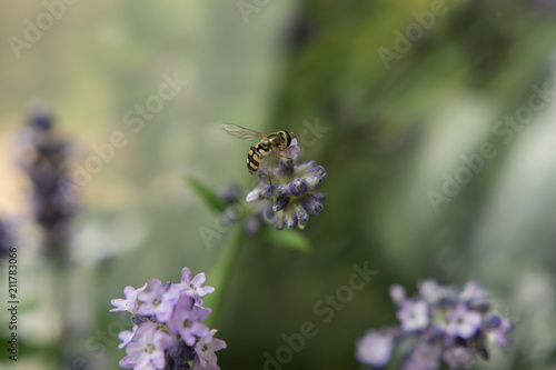 Hover Fly on Lavender Blossom