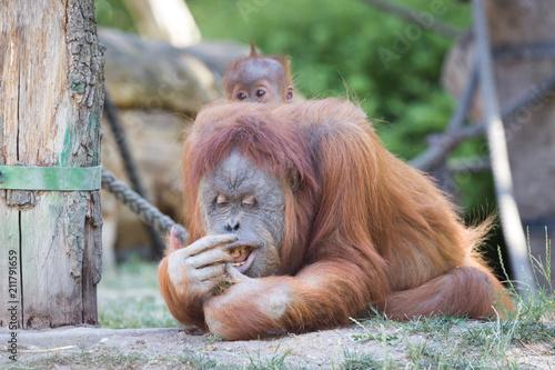 Aluminium Aap Orangutan beim essen