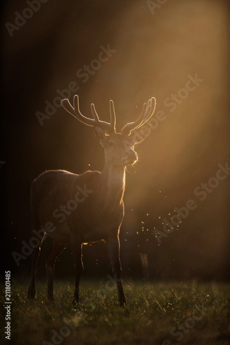 Fotobehang Hert Red deer stag with velvet antler in backlight of sun.