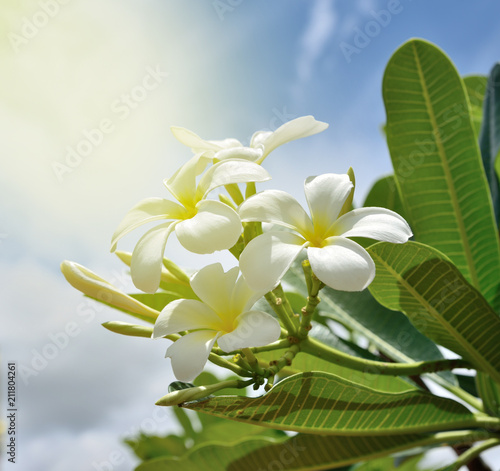 Fotobehang Plumeria White plumeria flowers is blooming , Sunlight shines down the tree in morning , blue sky background.
