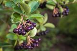 aronia bush in garden - 211808088