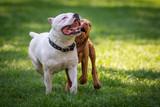 Due Pit bull che giocano liberi in un parco cittadino - 211809437