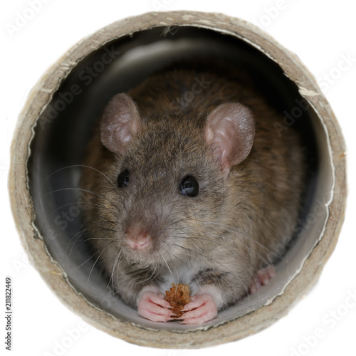 Closeup the young rat (Rattus norvegicus) eats rusk inside the pipe. Isolated on white background. Square composition.