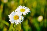 Spring meadow sun - camomile. Close-up.