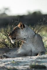 Kalahari Lioness At First Light